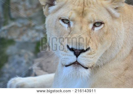 The lioness staring at prey with