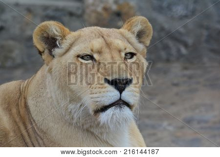 Young healthy lioness looking straight and observing portrait against blured gray background