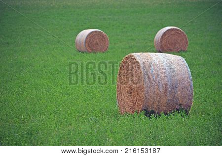 Round hay bales in a green field with purple wildflowers. Near Gooloogong, rural NSW, Australia