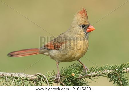 Female Northern Cardinal (cardinalis) on a pine tree branch