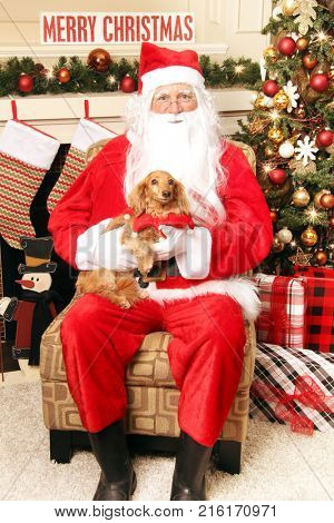 Litte Dachshund sitting on Santa's lap. Santa photos with your pet for Christmas concept.