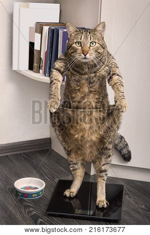 A beautiful striped gray cat is standing on the scales. Kitty struggles with excess weight. Fitness motivation.