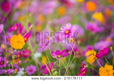 The Cosmos Flower Of Grassland