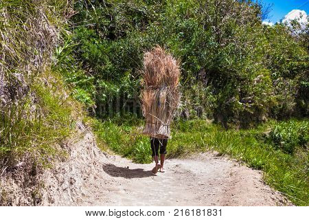 The farmer wears a rice hay in Batad, Central Luzon on Philipines
