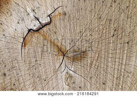 Wooden texture - cut of the tree trunk