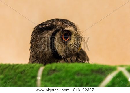 Head of a small owl. Owl with head turned