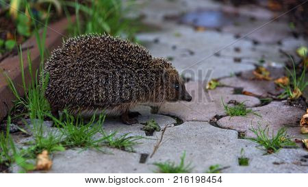 Spiky brown Hedgehog looking to the camera