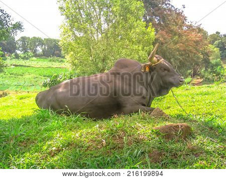 Buffalo sitting in the grass in a rural area of Basse-Terre, Guadeloupe Archipelago, French Caribbean and French Antilles.