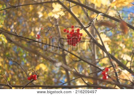 Shabby branch of mountain ash on a yellow foliage background. Yellow autumn and its harvest