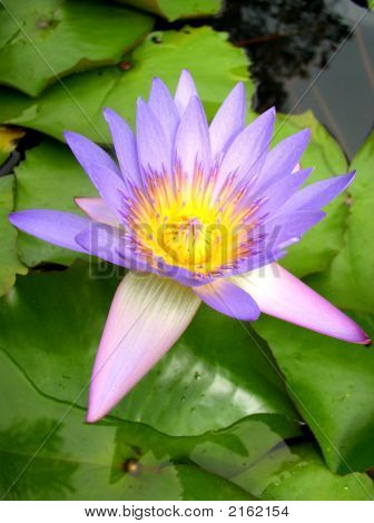 Hawaiian Water Lilly