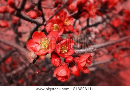 Blossoms of flowering quince. Spring Flowers.  Japanese garden.