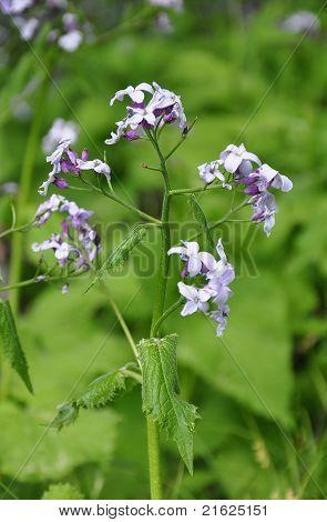Perennial Honesty (lunaria Rediviva)
