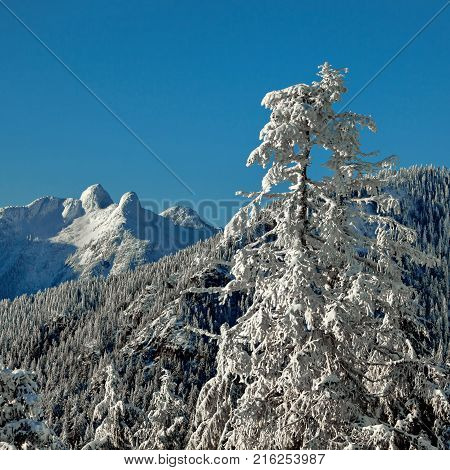 View at Lions Peaks from Grouse Mountain, Snowy winter forest in the mountain, blue sky,  Lions Peaks, snow-capped mountain peaks  and trees on the slopes.