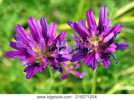 Lucerne flower (Medicago sativa) on a meadow as a summer pattern
