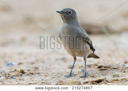 Close-up of a small Familiar Chat sitting on the ground in the shade