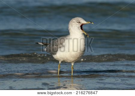 A Ring-Billed Gull, Larus delawarensis calling in shallow water along  a beach in Florida