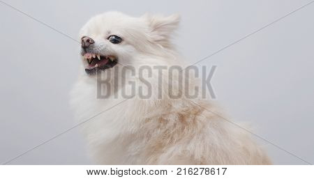 Pomeranian dog bark