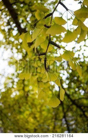 leaves of ginkgo biloba ginkgoaceae in fall season autumn
