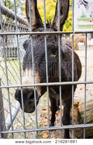 black donkey behind fence front view sad