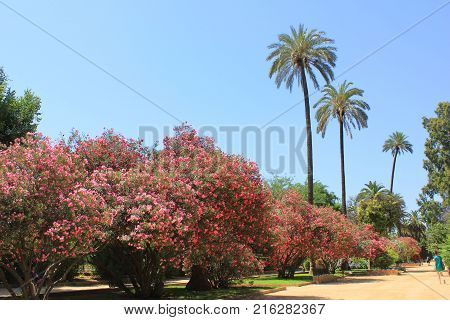 Blossom Bush and Palm Trees in Murillo Gardens in Alcazar of Seville, Andalusia Region, Spain. Outdoor Park Summer Landscape Scene with Pink Azalea Flowers and Empty Blue Sky Background on Sunny Day.