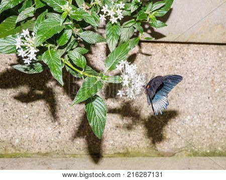 Great Mormon Butterfly ((papilio Memnon)