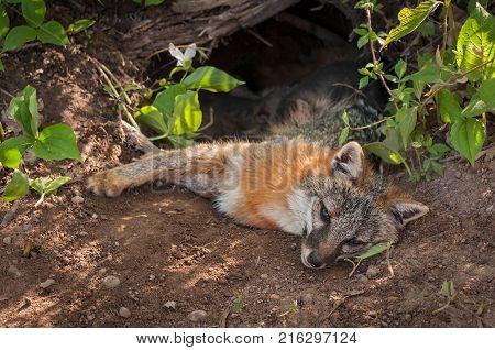 Grey Fox (Urocyon cinereoargenteus) Vixen Lies in Den Feeding Kits - captive animals