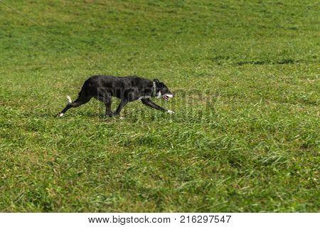 Sheep Dog Trots Right - at sheep dog herding trials