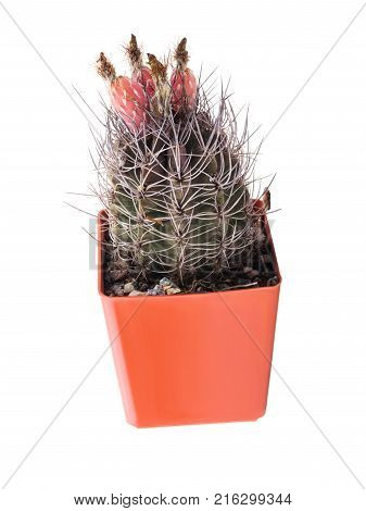 A beautiful flowering cactus with long spines and blossoms grows in a brown flower pot. Isolated on white background.