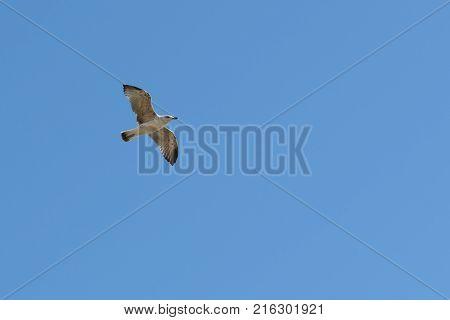 caspian gull in flight in the clear blue sky Larus cachinnans in left side of frame