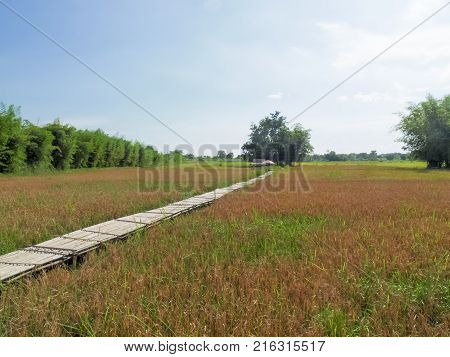 Rice field in Nakhon Nayok province of Thailand
