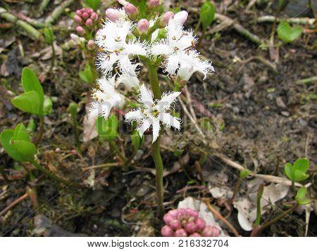 Flowering menyanthes trifoliata plant in a garden