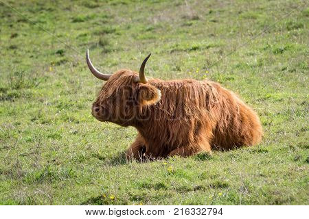Highland cow on the island of skye posing for the photographer