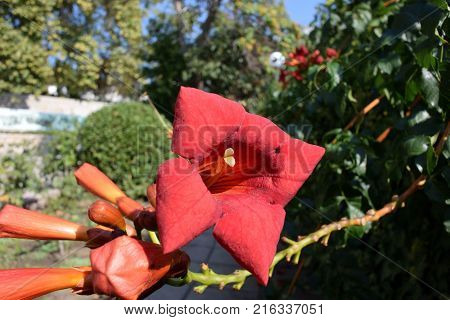 Flowering bush of pomegranate in the park complex Livadia Palace. Yalta Crimea
