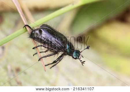 Black beetle crawls on a blade of grass