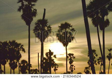 silhouette sugar palm tree on sunset sky