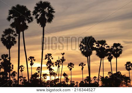 silhouette toddy palm tree on sunset sky