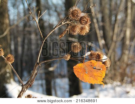 yellow lime leaf stuck on the sear thistle in winter