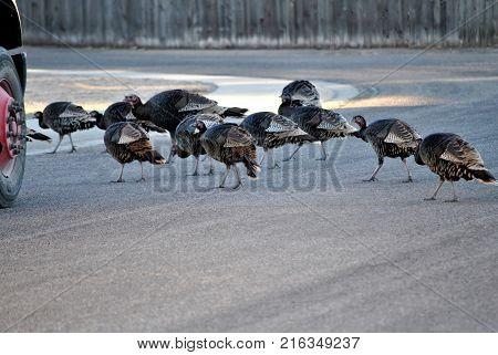 Wild turkeys crossing the street in front of a truck in broad daylight  outdoors.