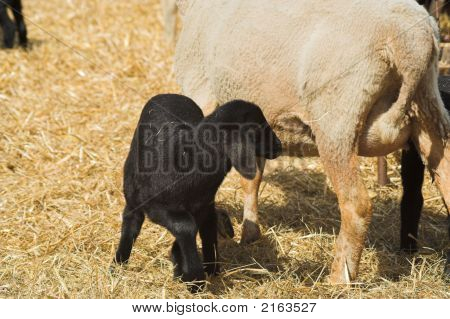 mother sheep feeding her lamb on a farm poster
