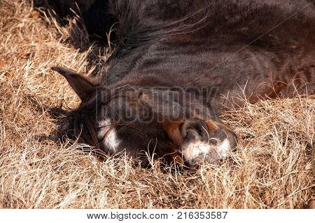 Horse sound asleep, lying in dry winter grass in sunshine