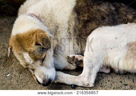 Thai dog laying on footpath look sick and loneliness