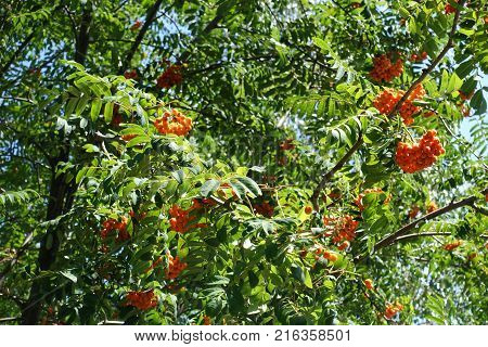 Leafage and fruits of Sorbus aucuparia tree