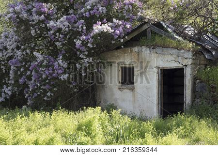 Old derelict building surrounded by flowers near Palouse region of Washington State America