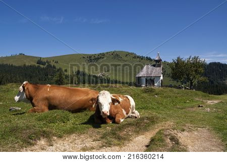 Cows in front of the Postalm chapel in Austria