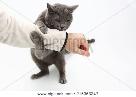 grey cat clasped his paws a man's hand on white background