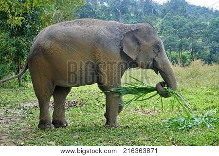 Elephant Looking Into The Camera In Thailand