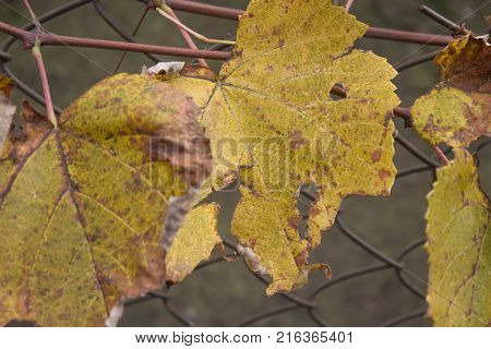 Photo of grape leaves background autumn after harvest season. Grape plant with yellow leaves
