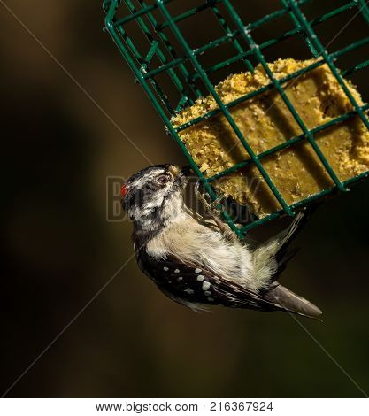 Downy and Hairy woodpeckers are widely distributed across North America. Both commonly visit feeder areas where they feed on suet and sometimes seeds.
