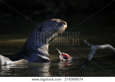 Giant Otter Feeding in the River. Pantanal Brazil