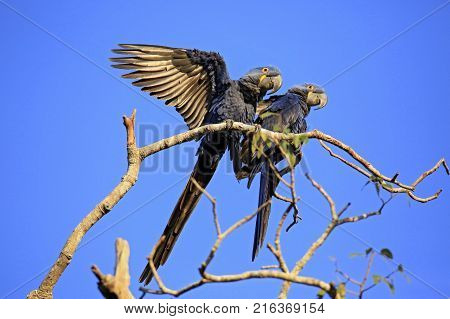 Two Hyacinth Macaws on a Branch. Pantanal Brazil